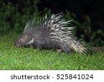 malayan porcupine  himalayan... | Shutterstock . vector #525841024