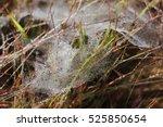 Dew Drop On Cobweb