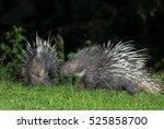 malayan porcupine  himalayan... | Shutterstock . vector #525858700