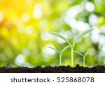 young plant in the morning... | Shutterstock . vector #525868078
