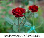 Red Roses On A Bush In A Garde...