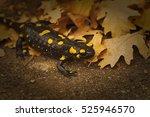 Salamander  Fire Salamander In...