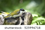 Small photo of White naped Honeyeater (Melithreptus lunatus), Australia