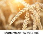 Organic Golden Ripe Ears Of...