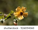 Small photo of Flower of a yellow hibiscus bush in Ethiopia, maybe Abutilon mauritianum.