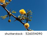 Small photo of Yellow flowers of a Red Acacia tree (Acacia seyal), the tree is used for the gum arabic production.