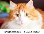 Portrait Of Adult Red Cat With...