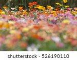 Mixed Colored Escholzia