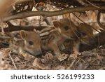 Cute Wild Boar Newborns In...