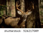 Large Whitetailed Deer Buck In...