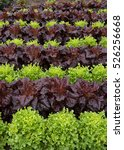 Small photo of Background or Texture of Rows of Home Grown Organic Green and Red Lettuces on an Allotment in a Vegetable Garden in Rural Devon, England, UK