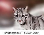 Beautiful Clouded Leopard On...