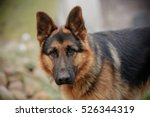 german shepherd | Shutterstock . vector #526344319