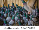 Homing Pigeons Sitting And...