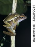 Small photo of A close-up Four-lined tree frog mating (Amphibia, Anura, Rhacophoridae)