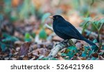 Common Blackbird Perched On Th...