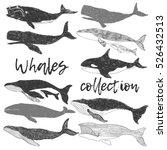 whales wild ocean animal... | Shutterstock .eps vector #526432513