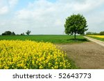 Rapeseed Field And Tree