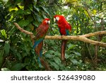 parrots   jungle island  miami  ... | Shutterstock . vector #526439080
