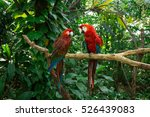 parrots   jungle island  miami  ...   Shutterstock . vector #526439083