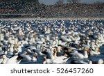 Snow Goose Migration In Canada