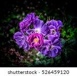 Violet Pink Roses