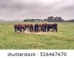 Hereford Cows Eating Hay On A...
