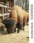 Small photo of American buffalo bison on farm