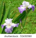 A Pair Of Purple Bearded Iris's ...