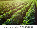 Rows Of Young Soybean Plants I...