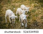 cute lambs playing and grazing...
