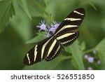 Zebra Heliconian  Heliconius...