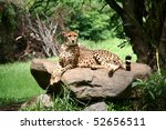 Cheetah in a natural habitat - stock photo