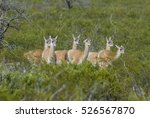 guanaco  patagonia  argentina | Shutterstock . vector #526567870
