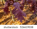 closeup maroon leaf in fall | Shutterstock . vector #526619038
