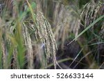rice field | Shutterstock . vector #526633144