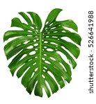 monstera large green jungle... | Shutterstock . vector #526641988
