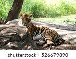bengal tiger on the wood. | Shutterstock . vector #526679890