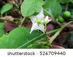 Turkey Berry Flower.  Solanum...