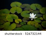 Water Lily  Nympha    A  On Th...