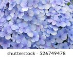 blue hydrangea flora background.... | Shutterstock . vector #526749478
