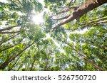 Sun Beam On Rubber Tree...
