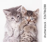 Small photo of Two adorable kittens lying together on a white background