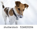 Stock photo fox terrier enjoying snow in winter 526820206