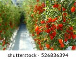 Tomatoes Ripening In A...