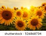field of sunflowers and sun  | Shutterstock . vector #526868734