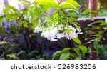 wrightia religiosa | Shutterstock . vector #526983256