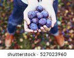 handful of ripe blue plums on... | Shutterstock . vector #527023960