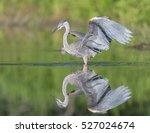 great blue heron with open... | Shutterstock . vector #527024674