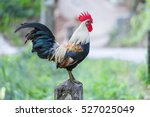 rooster crows | Shutterstock . vector #527025049